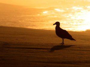 FineArt – Amanhecer Dourado – pombo